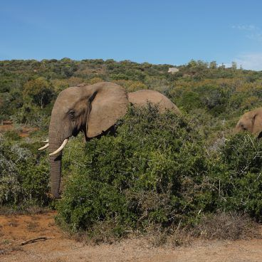 Olifant Addo National Park Zuid-Afrika
