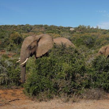 Olifant Addo National Park Zuid-Afrika